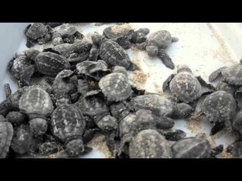 Sea Turtle Release Program in Los Cabos