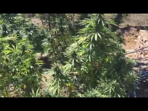 Cannabis new amnesia Epic plantation in Morocco medical haze!!