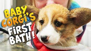 Corgi Puppy's First Bath!!! (Sad) - Frenchie the Corgi