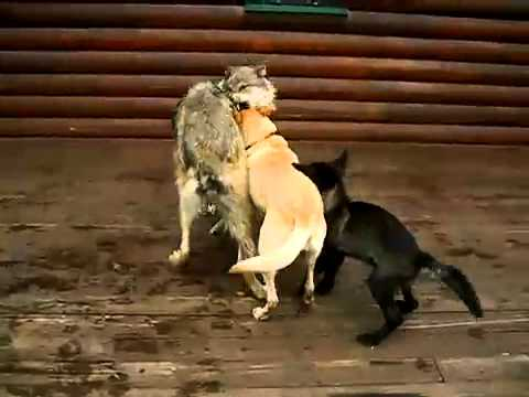 Grey wolf and dogs are playing