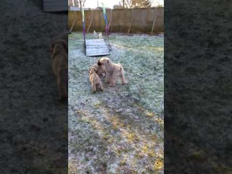 """Schwarze Terrier und Irish Soft Coated Wheaten Terrier """"vom Aralsee"""""""