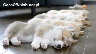 20130720 Part 8 cute corgi puppies sleep / コーギー子犬 お昼寝 thumbnail