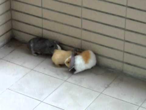 放風中的灰牛妮  (huiniuni- Guinea pigs/cavies)