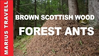 Brown Scottish wood forest ants nesting