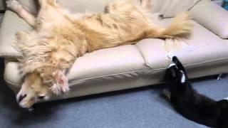 しっぽで遊ばれている事にしばらくして気づいた瞬間 大型犬vs猫