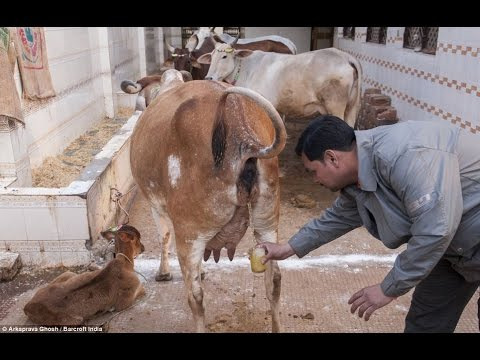 Do hindus drink cow piss