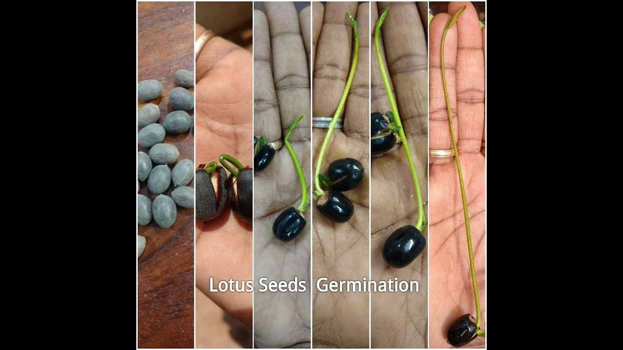 How To Grow Lotus Plant From Seeds Lotus Plant At Home Lotus