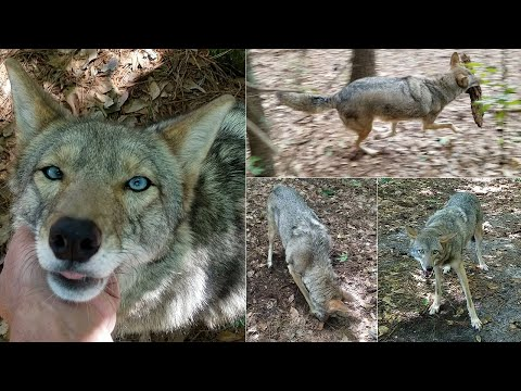 Coyote Named Scooter - 147 - 8th Birthday