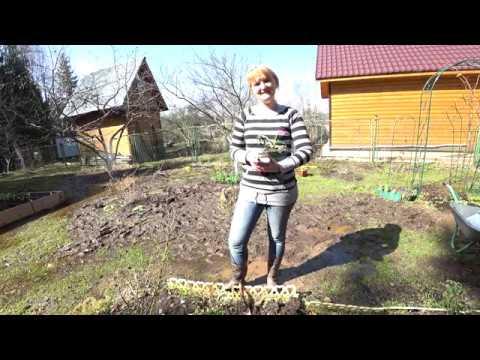 Растение хоста – выращивание в саду. Виды хост.