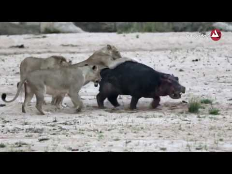 Wild Animals Video Group of Lion Attack A Young Hippo