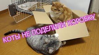 Коты дерутся за коробку! Смешные коты!