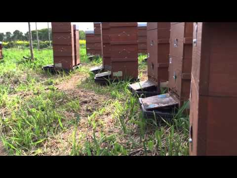 Evening in the apiary May 2015