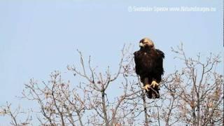 Царски орел (Aquila heliaca) Eastern Imperial Eagle