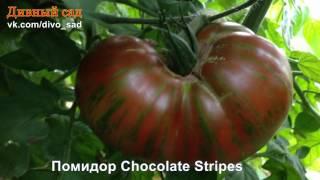 Помидор Chocolate Stripes (Шоколадные полоски)