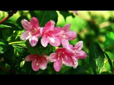 Weigela florida Growing Guide
