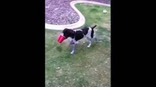 German Shorthaired Pointer Puppy, 4 Months