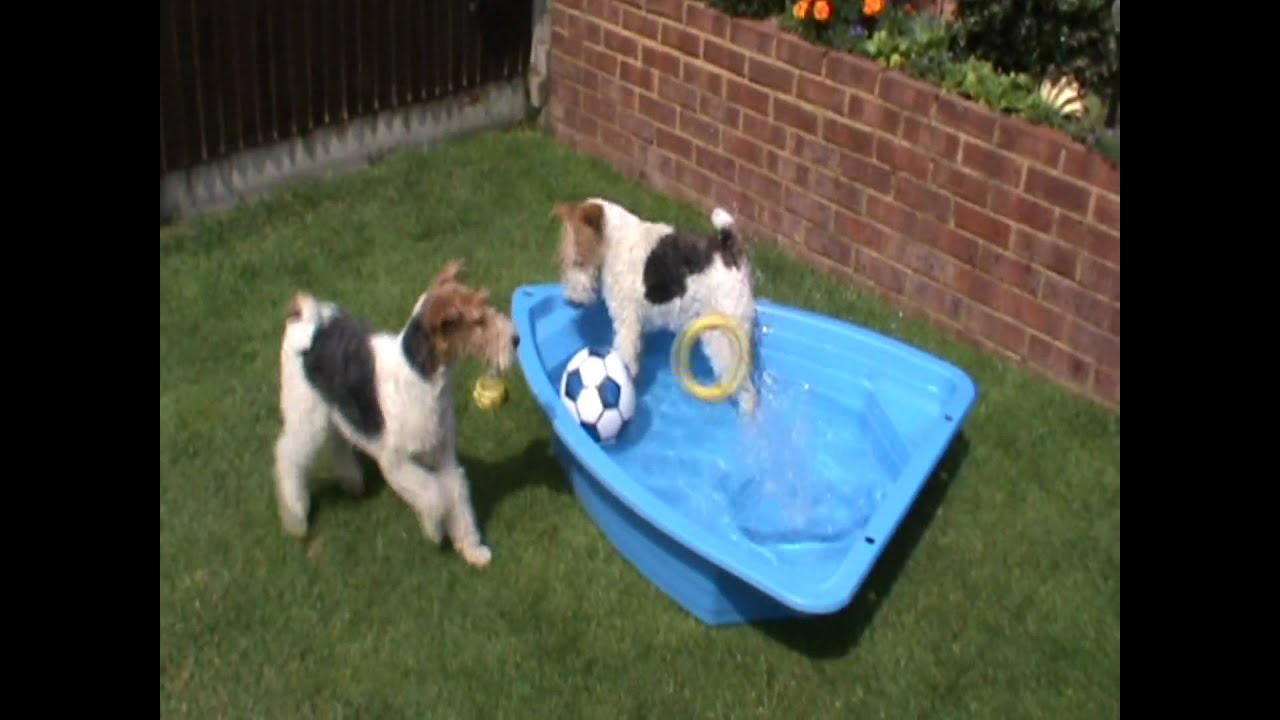 wire fox terriers cassie and scooby 27 28 june 2009 - YouTube