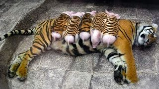 A Tigress Adopted Piglets And Raised Them As Her Own Babies