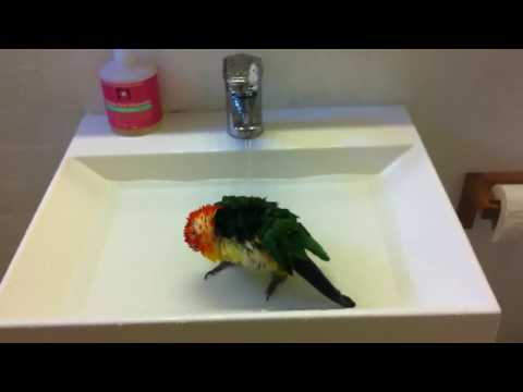 Caique taking a shower