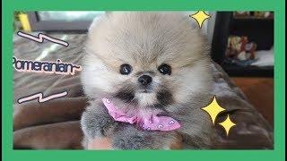 my tiny teacup puppy pomeranian
