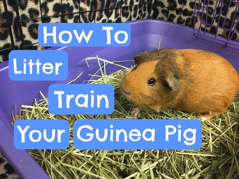 Litter Training Your Guinea Pig