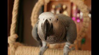 """Папагалът Джаро - """"Кой си ти? Какво, бе, любов, бе, любов!"""""""