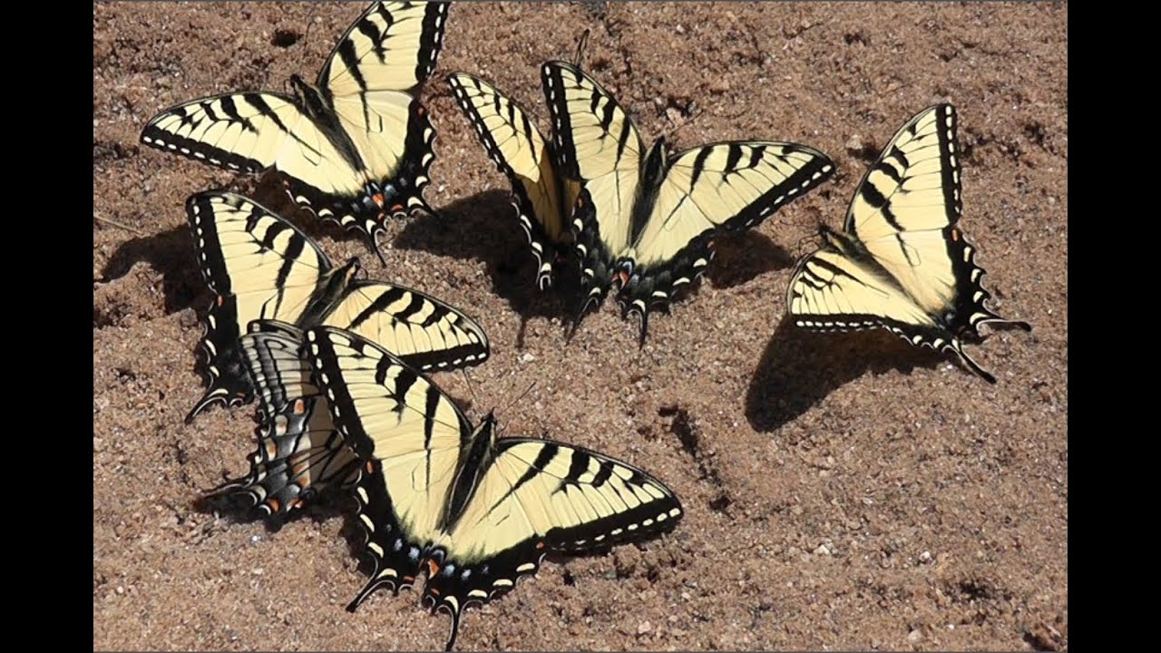 Image result for swallowtail puddling