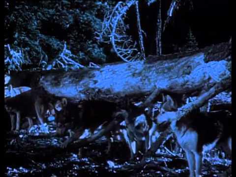 Rin Tin Tin 18 El lobo blanco