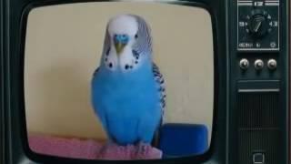 Супер говорящий попугай! Прикольное видео!