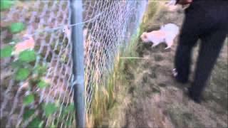 Pomeranian Chihuahua Fight