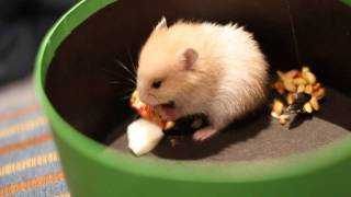 Syrian Hamster Eating