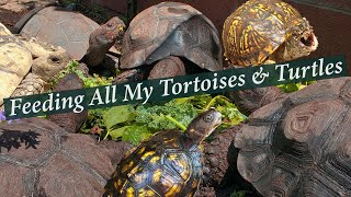 Feeding ALL my Tortoises and Turtles. Always a good time