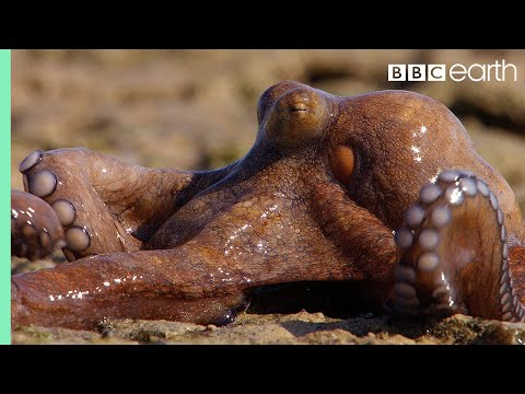 Extraordinary Octopus Takes To Land | The Hunt | BBC Earth