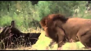 Битва медведя со львом(Хоть это и фрагмент фильма,а битва у животных получилась очень натурально), 2013-09-25T19:36:08.000Z)