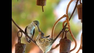 Hummingbird Nest Documentary. HD. Meet Mama and Papa , Lil Lucy, and Baby Ethel.