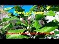 Flores y Limones de los Limoneros Eureka - Cuatro Estaciones  Cultivados en Macetas