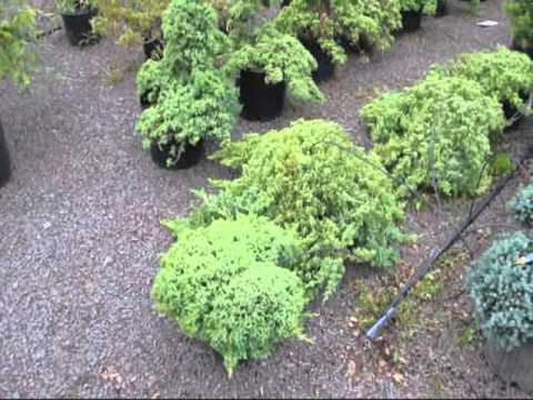 Cute dwarf junipers japanese garden junipers youtube for Japanese outdoor plants