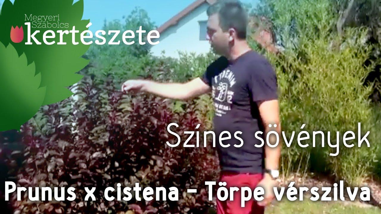 cinquefoil visszérrel)