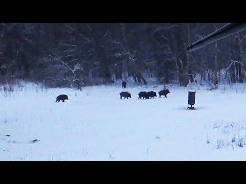 видео: Охота #172 на вышке, вышло стадо