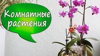 3. Уход за орхидеями. Детки на орхидее. Как сохранить бутоны?(В этом видео я расскажу, как ухаживать за орхидеями, чего следует избегать, как получить на орхидее деток..., 2016-02-14T18:13:02.000Z)