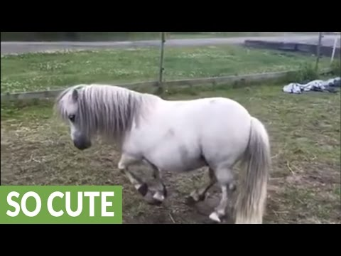 Shetland pony shows off his piaffe