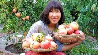 Hái lựu bạch, lựu đỏ ở vườn nhà, cách trồng cây lựu nhiều trái