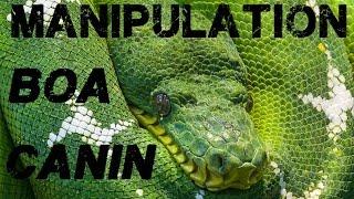 Manipulation de Corallus caninus adulte