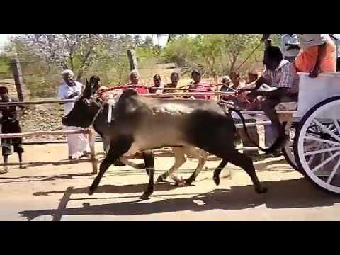 Rackla Race in muthur cow tamilnadu 2017
