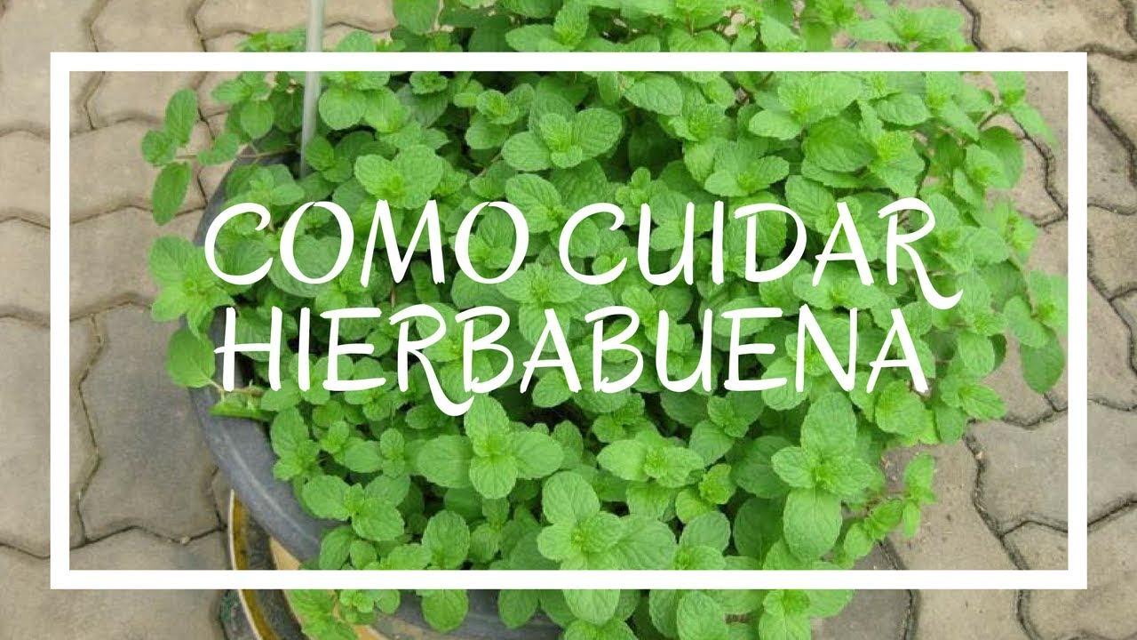 Jamas vuelvas a perder una planta de hierbabuena youtube for Cuidar hierbabuena en interior