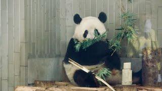 2019/8/24 二歳でもまだまだまんまる子パンダシャンシャン   Giant Panda Xiang Xiang