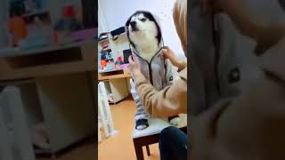 Dog Series: When a Husky wears a jacket