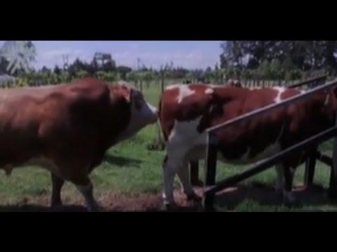 Limpieza, Mantenimiento de Toros y Obtención de Semen - TvAgro por Juan Gonzalo Angel