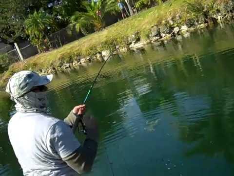 miami canal grass carp fishing 25-30lbs
