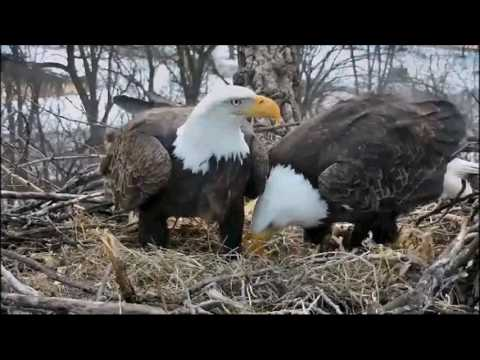 DECORAH EAGLES  2/4/2017   5:17 PM  CST   MOM AND DAD WORKING HARD TO GET NEST READY